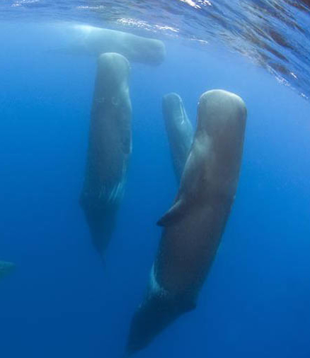 the blue whale essay What is the largest animal of all time—even larger than the most massive  dinosaurs the answer is the blue whale.